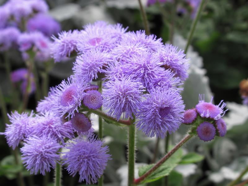 Gorgeous Bright Closeup Light Purple Aster Flowers At Stanley Park Perennial Garden, British Columbia. In August 2019 stock photo