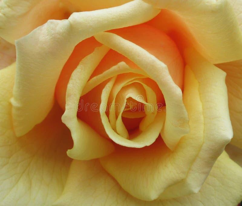 Gorgeous Bright Closeup Peach Rosa Flor No Verão De 2019 fotos de stock royalty free