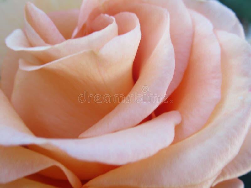 Gorgeous Bright Closeup Peach Rosa Flor No Verão De 2019 imagem de stock royalty free