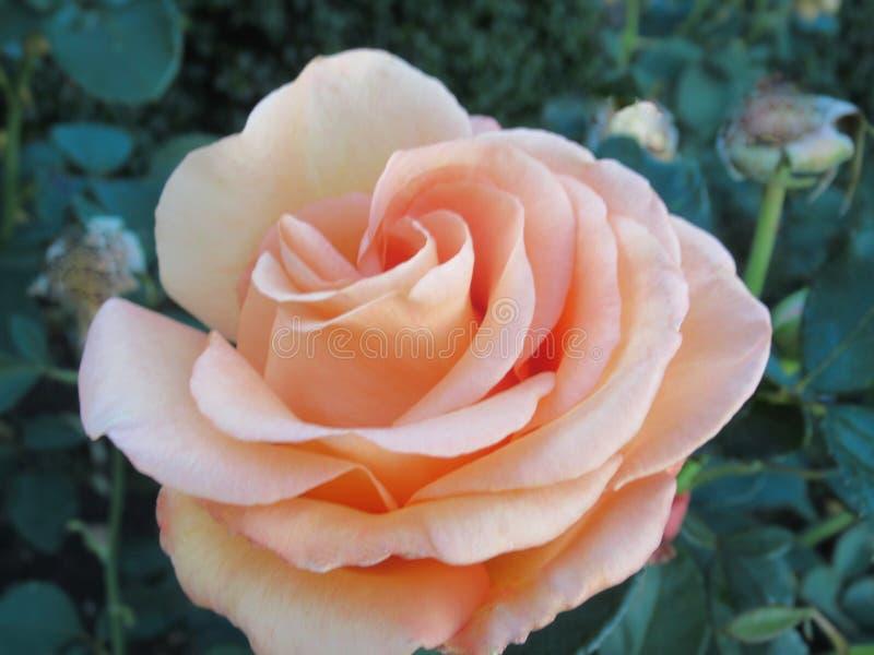 Gorgeous Bright Closeup Peach Rosa Flor No Verão De 2019 fotografia de stock