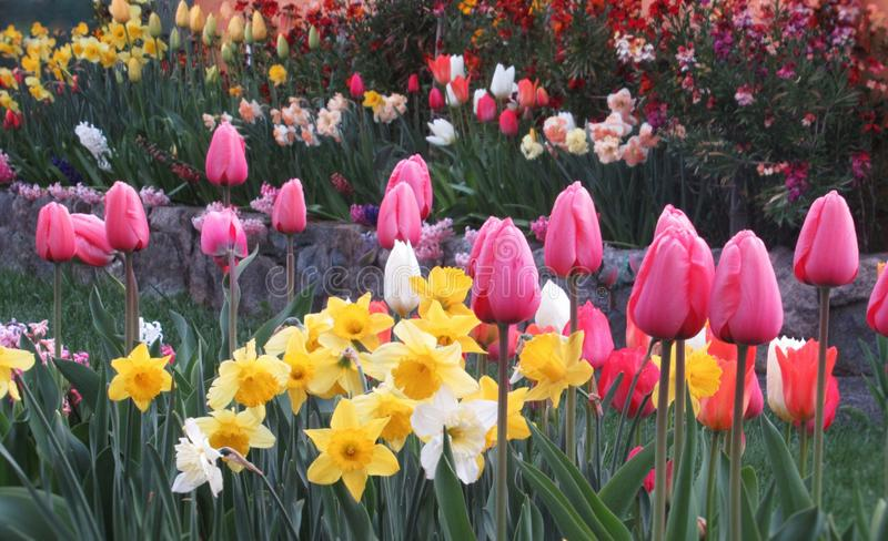 Gorgeous & Bright Colourful Tulip Flowers Blossom In Vancouver Garden In Spring 2019 royalty free stock photos