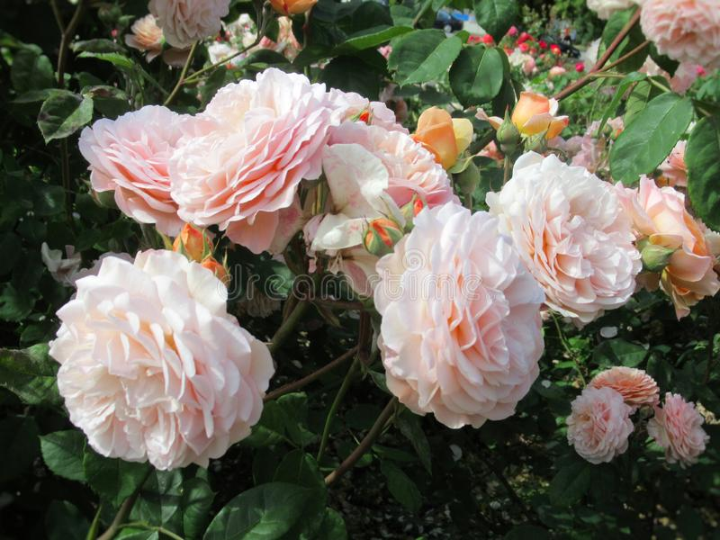 Gorgeous Bright Light Pink Rose Flowers Blossom In Vancouver Q.E Park Garden. Gorgeous Bright Light Pink Rose Flowers Blossom In Vancouver Park Rose Garden In royalty free stock photos