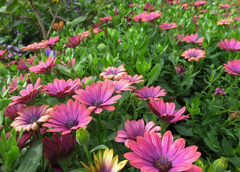 Gorgeous Bright Pink African Daisy Flowers At Stanley Park Perennial Garden, British Columbia. In August 2019 stock photos
