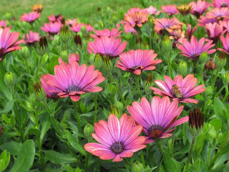 Gorgeous Bright Pink African Daisy Flowers At Stanley Park Perennial Garden, British Columbia. In August 2019 stock photo