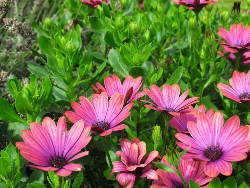 Gorgeous Bright Pink African Daisy Flowers At Stanley Park Perennial Garden, British Columbia. In August 2019 stock images