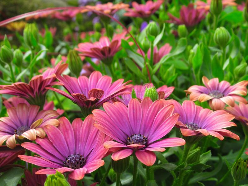 Gorgeous Bright Pink African Daisy Flowers At Vancouver Stanley Park Perennial Garden In August 2019. Gorgeous Bright Pink African Daisy Flowers At Vancouver royalty free stock photography