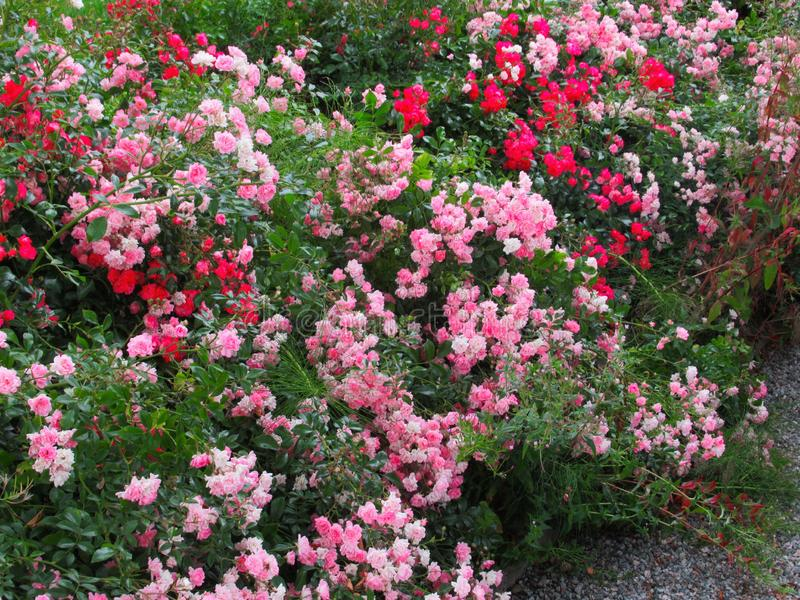 Gorgeous Bright Pink Red Rose Bush In Park Garden. Gorgeous Bright Pink Red Rose Bush In Vancouver Q.E. Park Rose Garden In Summer 2019 stock photo