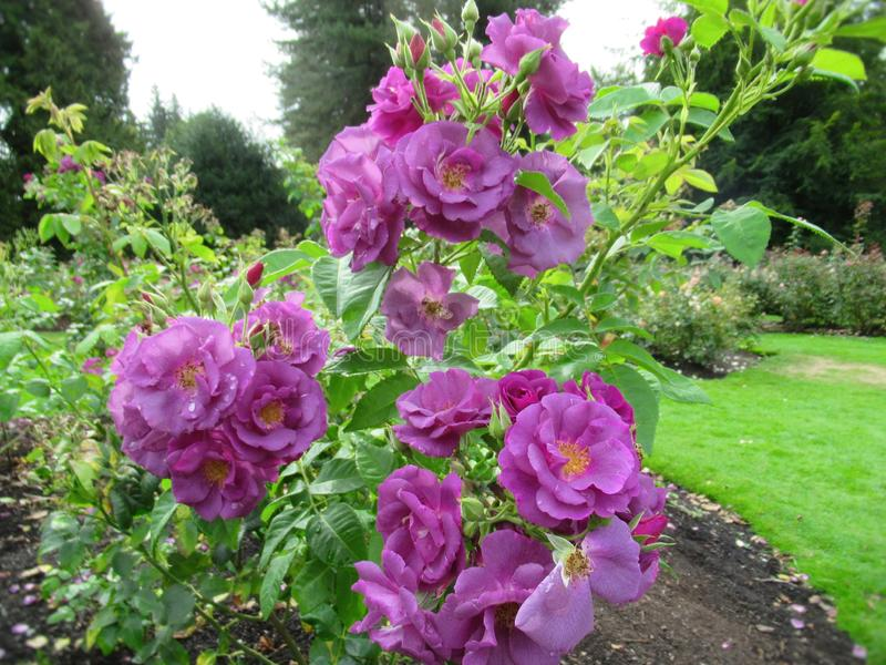 Gorgeous Bright Purple Rose Flowers At Stanley Park Perennial Garden, British Columbia. In August 2019 royalty free stock images