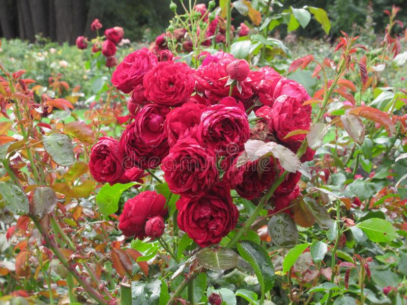Gorgeous Bright Red Rose Flowers At Stanley Park Perennial Garden, British Columbia. In August 2019 royalty free stock photos