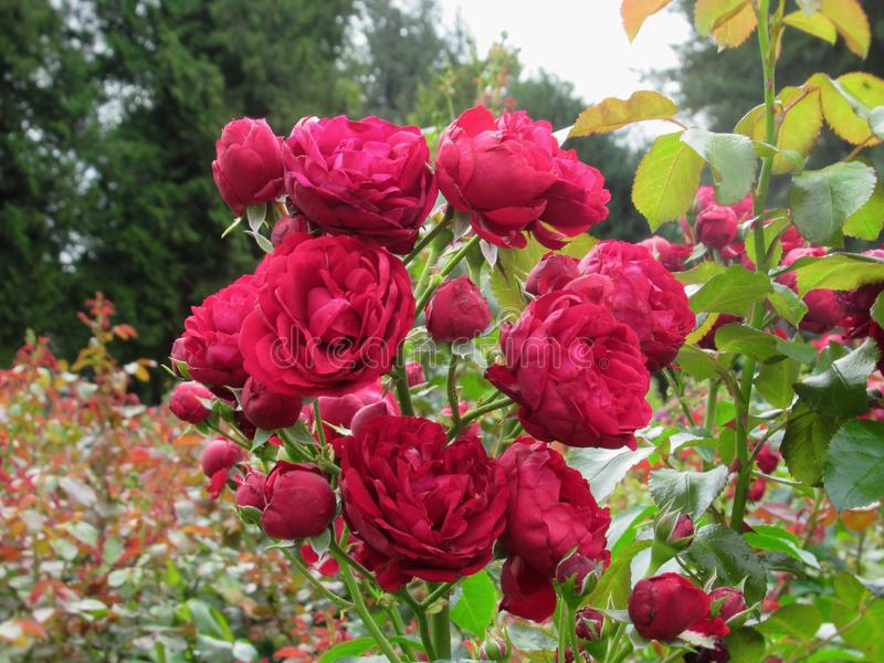 Gorgeous Bright Red Rose Flowers At Stanley Park Perennial Garden, British Columbia. In August 2019 stock image