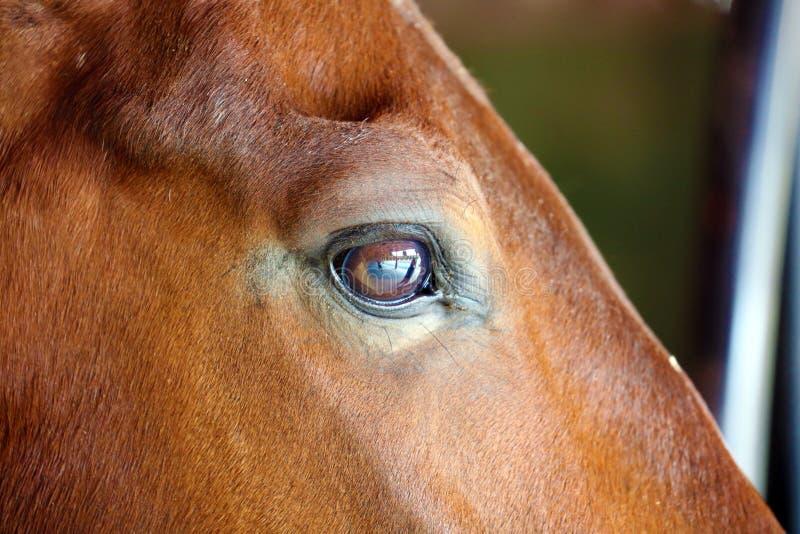 Gorgeous horse eye andalusian spanish stallion, amazing arabian horse. Gorgeous brown andalusian spanish stallion, amazing arabian horse canter royalty free stock image