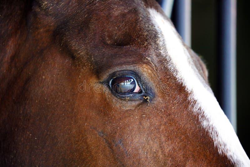 Gorgeous horse eye andalusian spanish stallion, amazing arabian horse. Gorgeous brown andalusian spanish stallion, amazing arabian horse canter stock images
