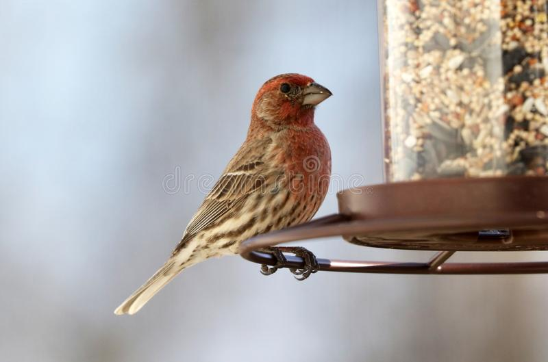 Gorgeous brown red colorful bird eating seeds from a bird seed feeder during summer in Michigan. Gorgeous brown sparrow colorful bird eating seeds from a bird stock photography