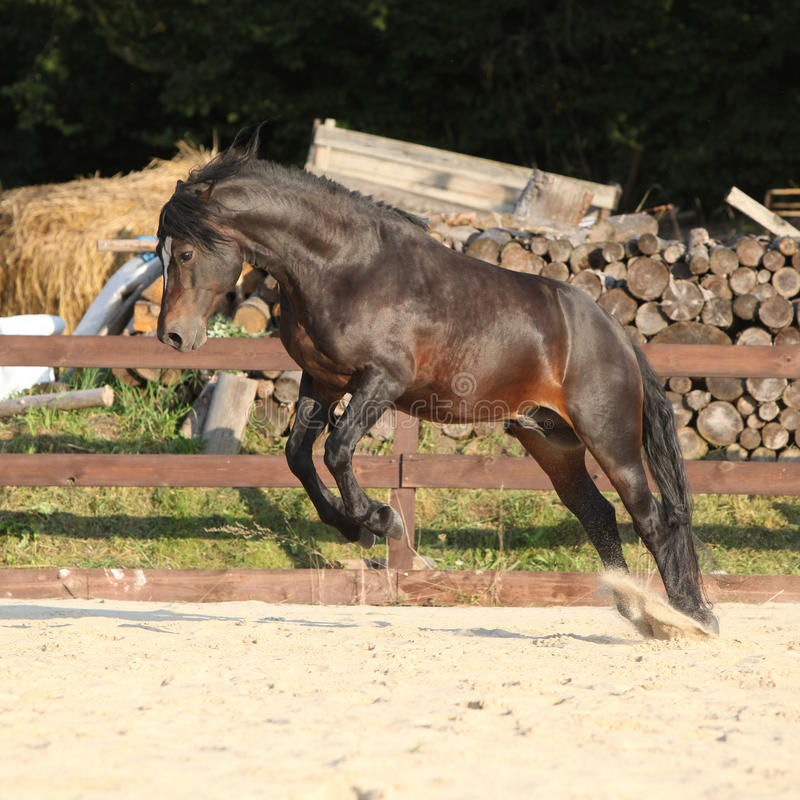 Gorgeous brown welsh cob jumping. On the sand stock photo