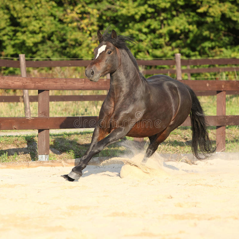 Gorgeous brown welsh cob running. On the sand stock photos