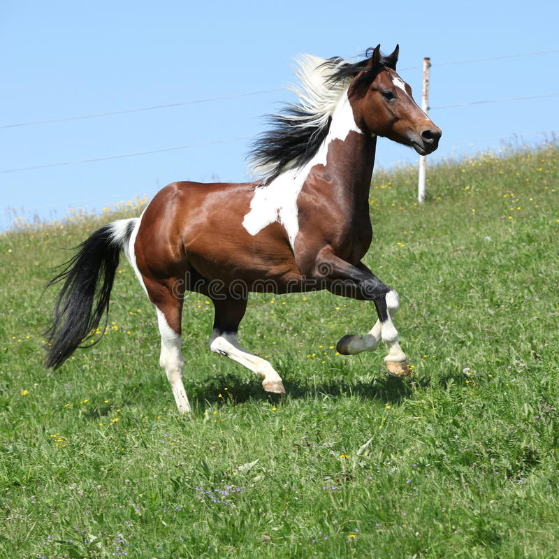 Gorgeous brown and white stallion of paint horse running royalty free stock image