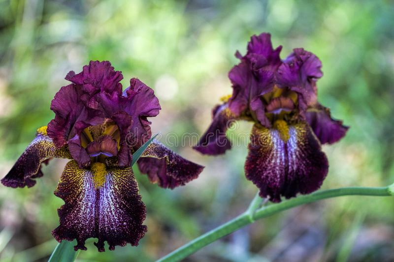 Gorgeous Burgundy Wine and Gold Tall Bearded Iris Blossoms. These are beautiful fancy burgundy wine, white and gold colored tall bearded iris with ruffles. It is royalty free stock photography