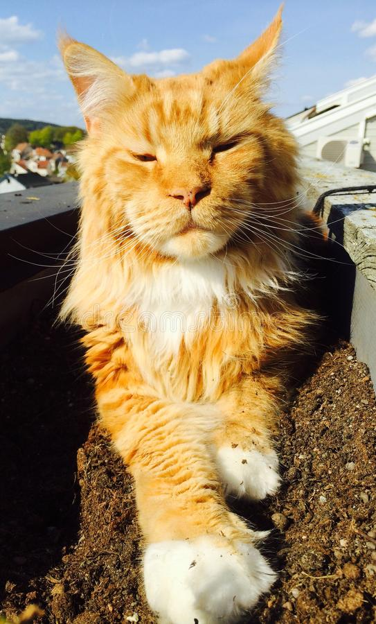 Gorgeous Cat Ginger Red Maine Coon stock photo