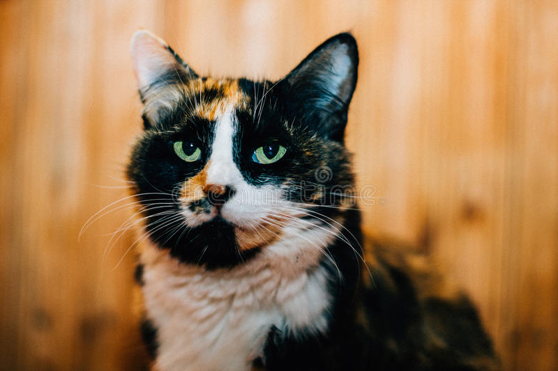 Gorgeous cat with green eyes. Gorgeous cat with green eyes at home royalty free stock image