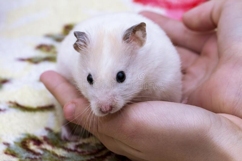 Gorgeous charming white hamster sitting conceived in children`s hands, attentiveness and caring attitude to animals.  stock image