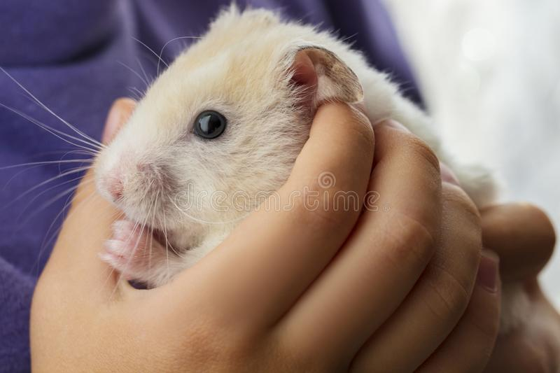 Gorgeous charming white hamster sitting conceived in children`s hands, attentiveness and caring attitude to animals.  stock images