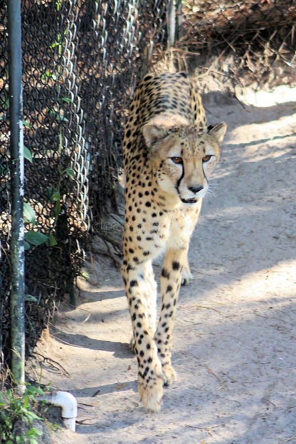 Gorgeous Cheetah Pacing royalty free stock image