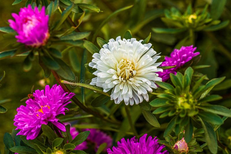 Gorgeous close up view of pink and white aster flower isolated on green background. royalty free stock images