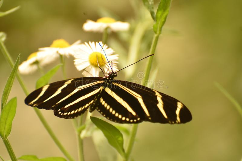 Gorgeous Close Up of a Zebra Butterfly in the Sun royalty free stock photo
