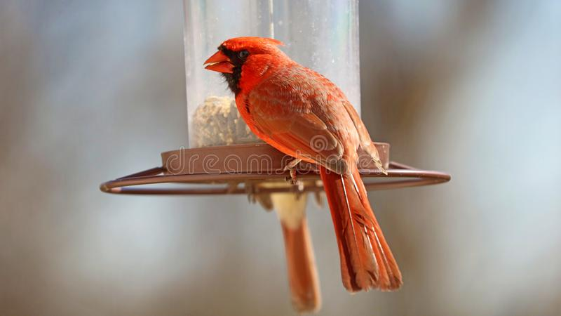 Gorgeous Couple of Red northern cardinal colorful bird eating seeds from a bird seed feeder during summer in Michigan royalty free stock photos