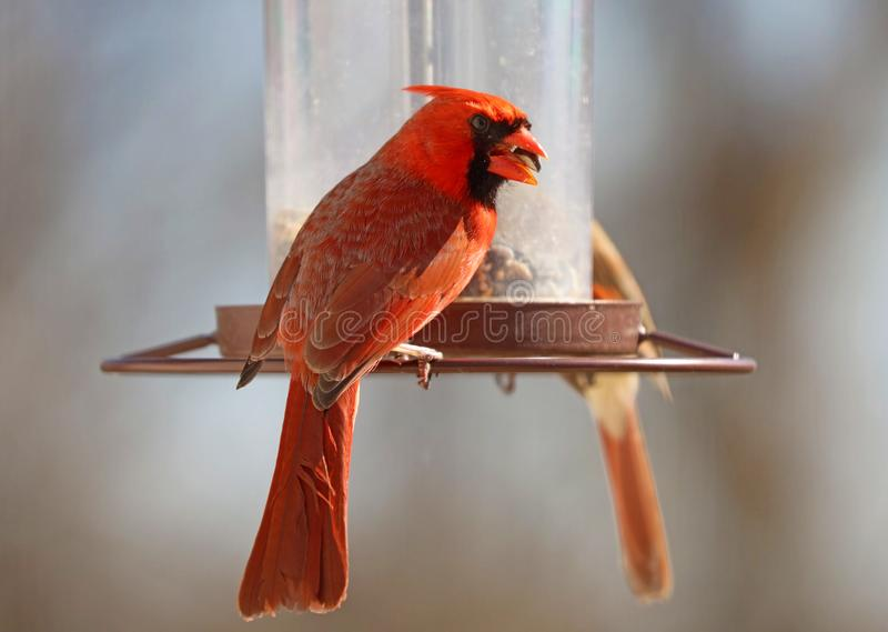 Gorgeous Couple of Red northern cardinal colorful bird eating seeds from a bird seed feeder during summer in Michigan royalty free stock images