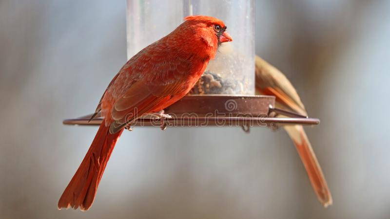 Gorgeous Couple of Red northern cardinal colorful bird eating seeds from a bird seed feeder during summer in Michigan stock image