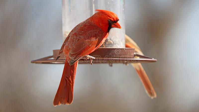 Gorgeous Couple of Red northern cardinal colorful bird eating seeds from a bird seed feeder during summer in Michigan stock photography