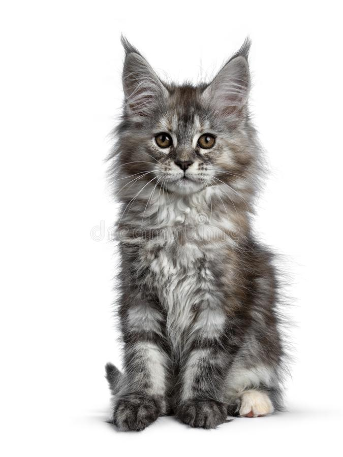 Gorgeous cute Maine Coon cat kitten, Isolated on white background. Gorgeous cute Maine Coon cat kitten sitting up straight. Looking at camera with brown eyes royalty free stock images