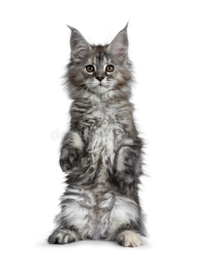 Gorgeous cute Maine Coon cat kitten, Isolated on white background. stock photo