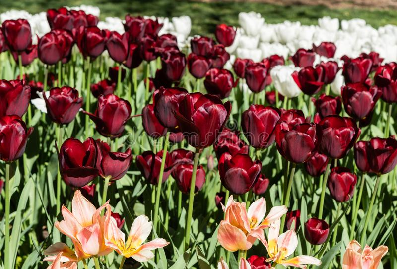 Gorgeous deep red tulips surrounded by pink and white tulips in springtime stock photography