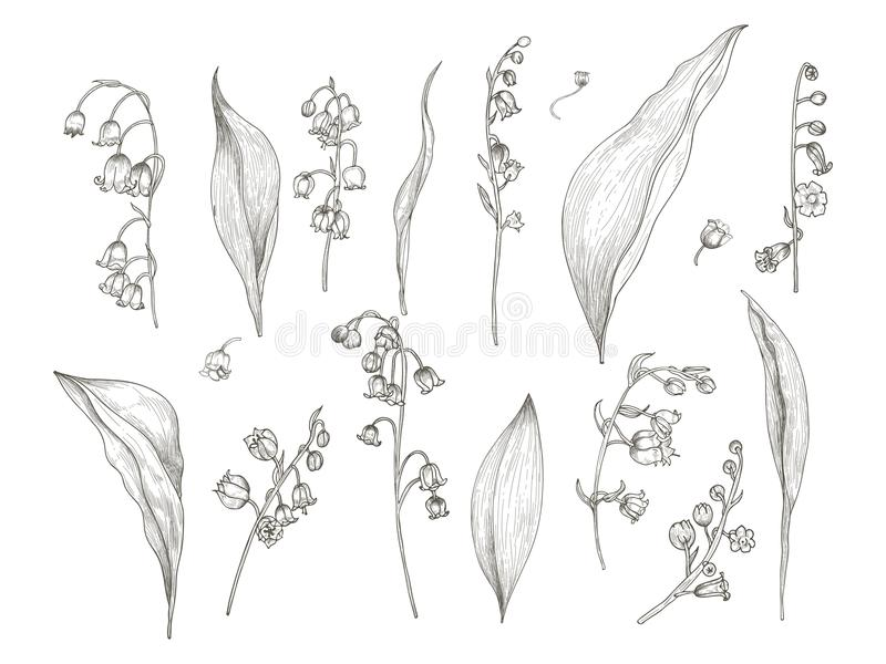 Gorgeous drawing of lily of the valley parts - flower, inflorescence, stem, leaves. Blooming plant hand drawn in vintage vector illustration
