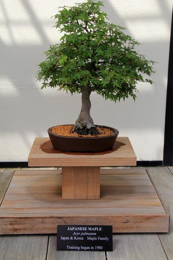 Gorgeous example of Japanese Maple tree on display, Longwood Gardens, Pennsylvania, 2017 stock photography