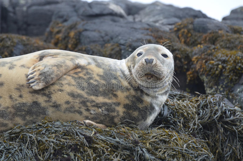 Gorgeous Face of a Gray Seal stock image