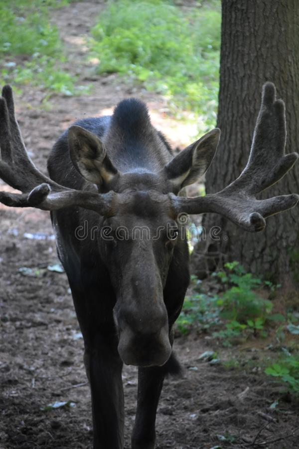 Gorgeous Face of a Moose Up Close stock photo
