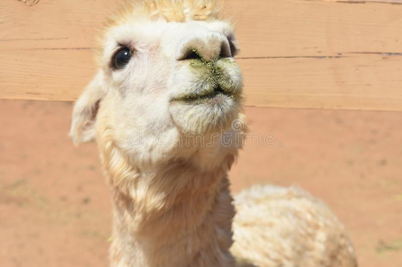 Gorgeous Face of a Very Cute White Alpaca stock photos
