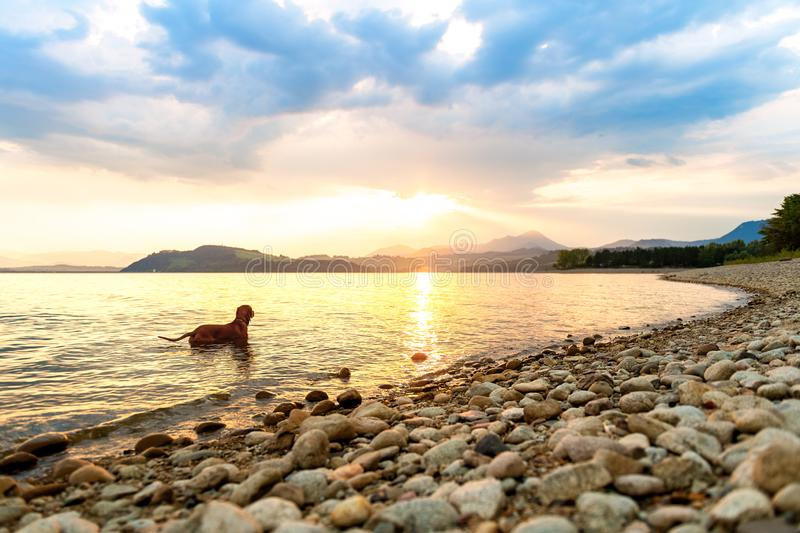 Gorgeous family pet dog on a beach at sunset. Vizsla puppy on summer vacation exploring the sea. Gorgeous family pet dog on a beach at sunset. Vizsla puppy on royalty free stock images