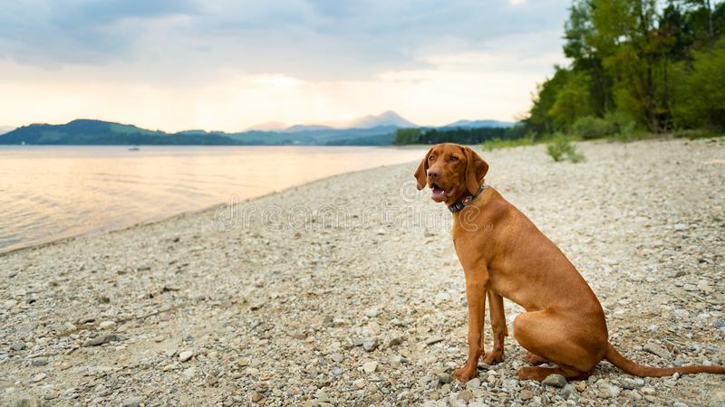 Gorgeous family pet dog sitting on a beach at sunset time. Vizsla puppy on summer vacation exploring the sea. royalty free stock image