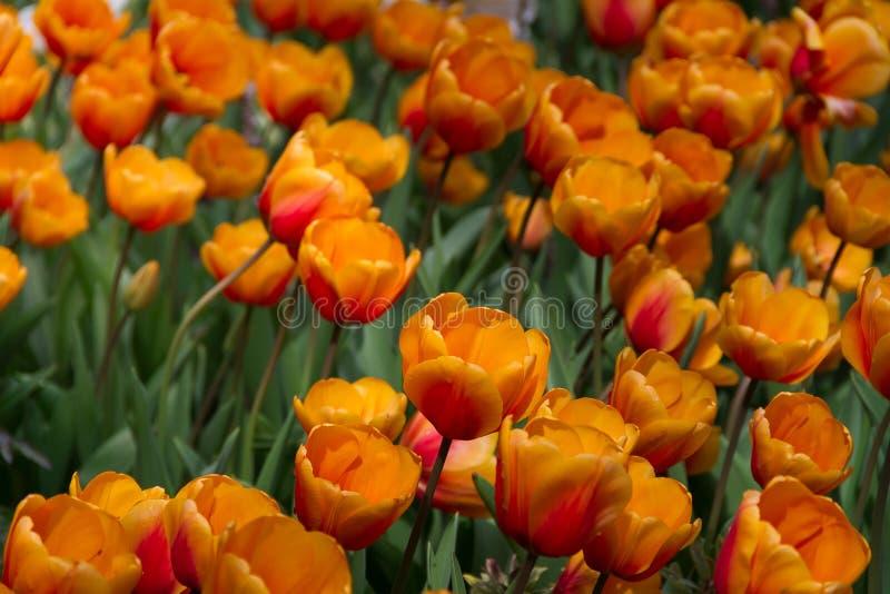 Gorgeous field of bright orange tulips royalty free stock photo
