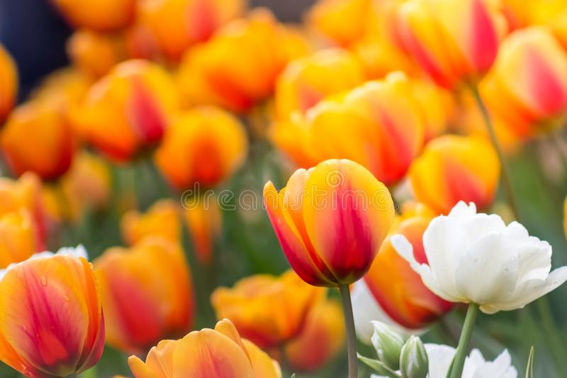 Gorgeous field of orange tulips with one lone white tulip royalty free stock image