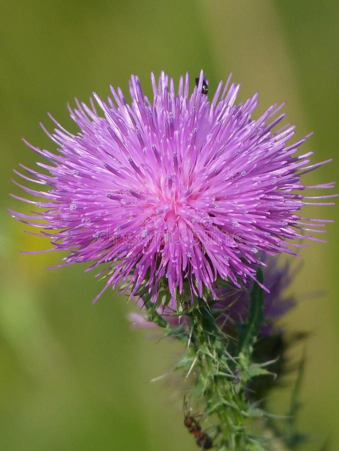 Gorgeous flower of Cárduus. Violet thistle. Gorgeous flower of Cárduus. Violet thistle in the countryside field. Summer day stock photo