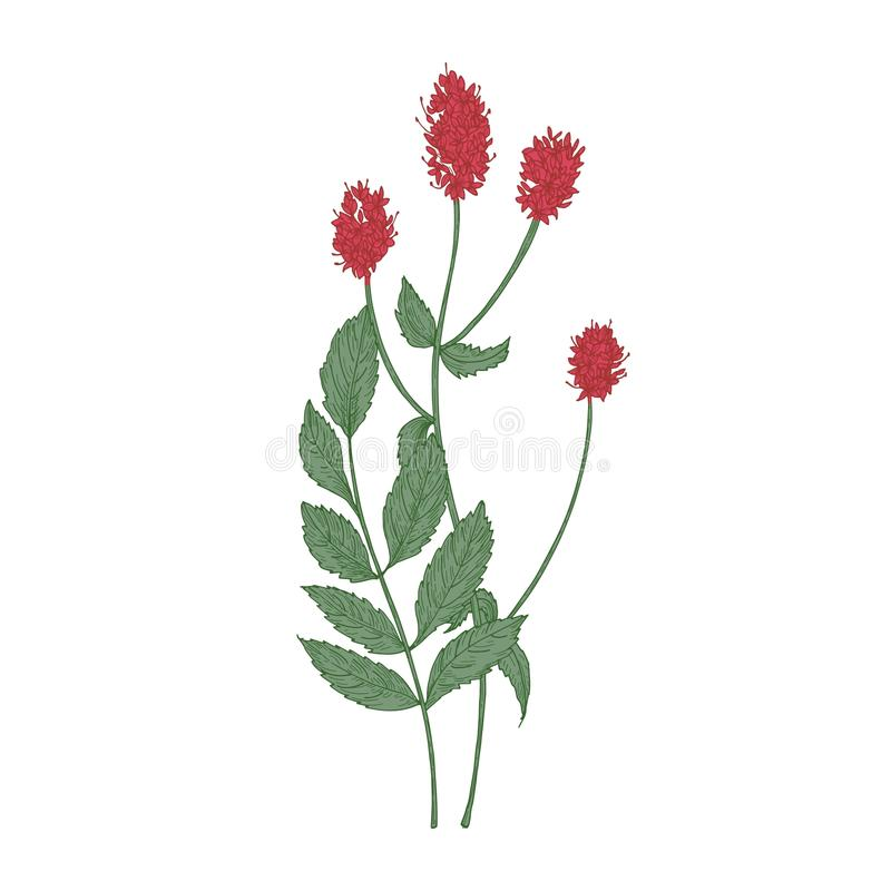 Gorgeous flowers and leaves of Sanguisorba officinalis or great burnet plant isolated on white background. Hand drawn stock illustration