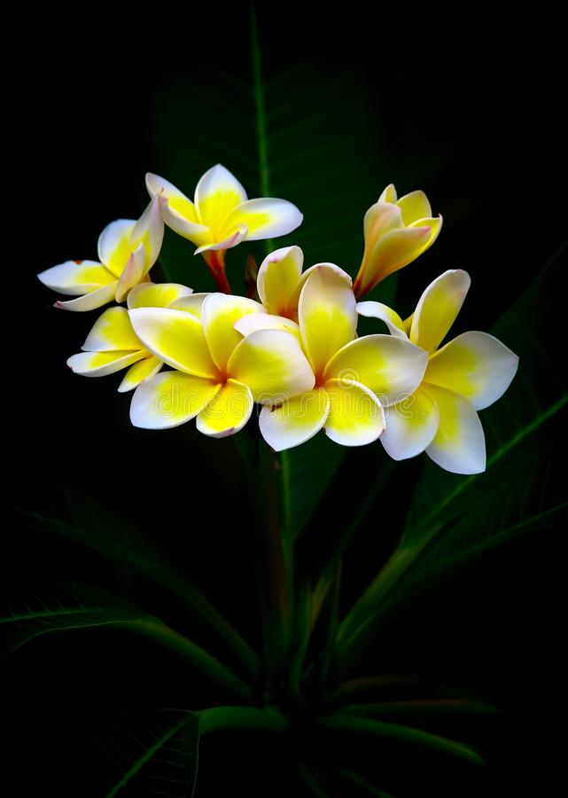Free Gorgeous Frangipani Flowers Royalty Free Stock Photo - 148670395