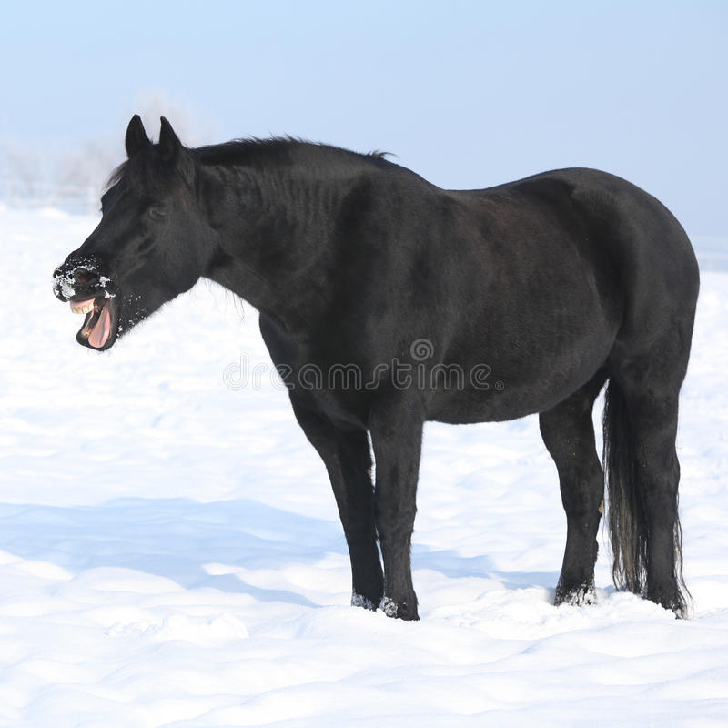Gorgeous friesian horse yawning royalty free stock photography