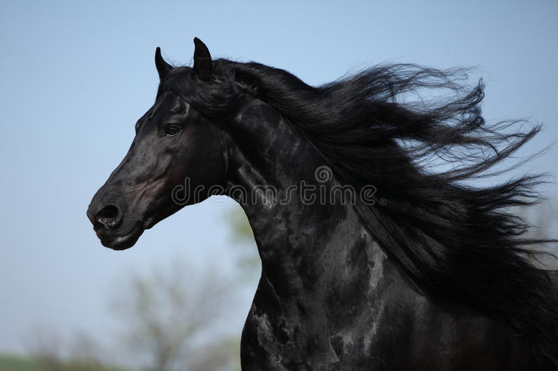 Gorgeous friesian stallion with flying long hair royalty free stock image