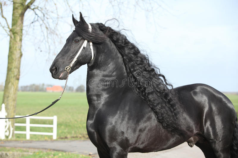 Gorgeous friesian stallion with long hair royalty free stock images